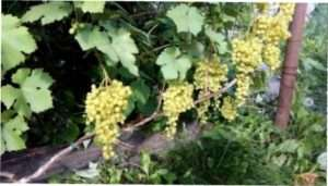 Обрізка винограду в Криму