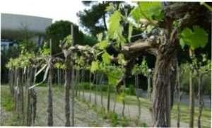 Обрізка винограду по методу Гюйо