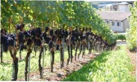 Обрізка винограду: терміни, схеми з фото як та коли обрізати кущі винограду по методу Гюйо