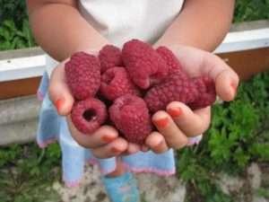 плоди малини геракл