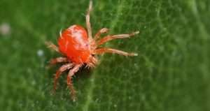 Павутинні кліщі