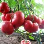 Як виростити на своїй ділянці помідор Рожевий мед
