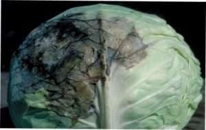 Чорна гниль (бактеріоз) капусти
