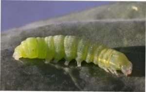 Гусениці капустяної совки