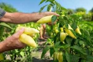 Як вирощувати самостійно болгарський перець