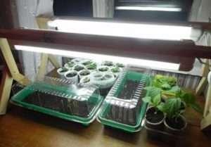 як сіяти насіння суниці