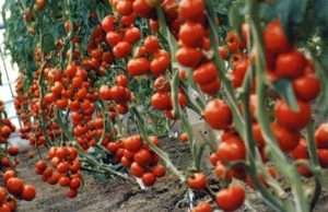 Як виростити томат Благовіст на своїй ділянці