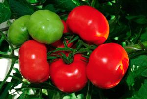 Вирощування помідора сорту Благовіст самостійно