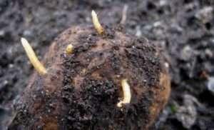 Шкода, яку завдає дротяник рослинам