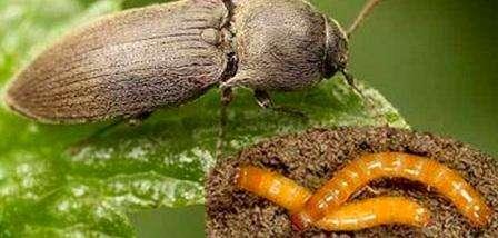 Дротяник на городі - способи та методи боротьби з ним. Як боротися з личинками жука-ковалика