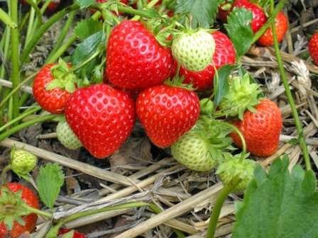 Удобрювання полуниці – основні правила догляду за рослинами