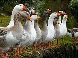 Опис породи Італійські гуси