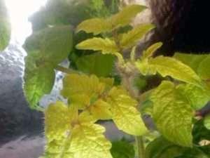 Через нестачу азоту листя рослин починають слабшати і жовтіти