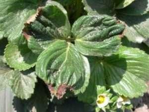 Курчавість листя може свідчити про нестачу калію