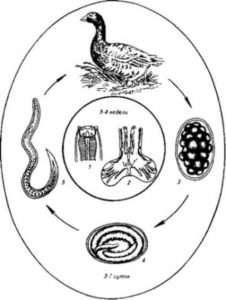 Амідостоматоз