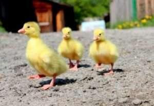 Розведення Італійських гусей