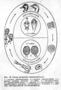 Гіменоліпедоз