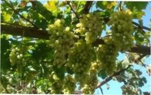Виноград Мехалі