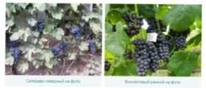 Східно-азіатська група винограду