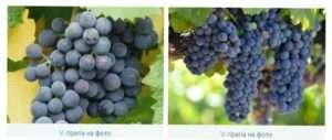 Американська група винограду