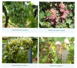 Будова виноградної лози: фото і опис