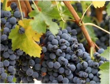 Виноград: ботанічний опис та класифікація сортів винограду з фото для вирощування