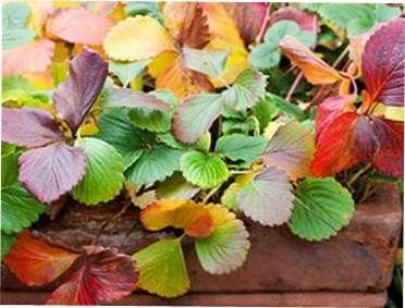 Догляд за полуницею восени таїї підготовка до зими. Як правильно доглядати осінню за полуницею