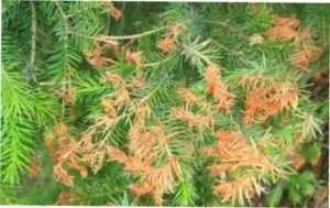 Хвороби хвойних рослин і методи боротьби з ними