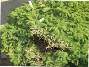 Як боротися з хворобами хвойних рослин