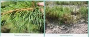 хвороби хвойних рослин