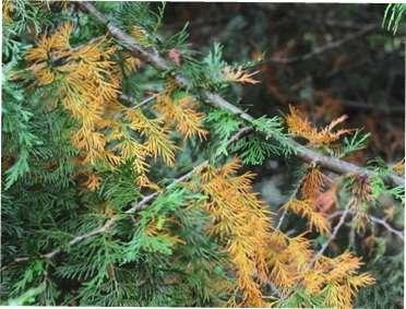 Хвороби хвойних рослин та їх лікування: ефективні методи боротьби з хворобами хвойних дерев