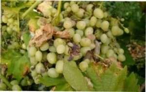 Хвороби винограду і чим їх лікувати