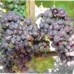 Боротьба із шкідниками та хворобами винограду: комплексний захист та профілактика