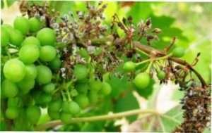 Мілдью, або несправжня борошниста роса винограду