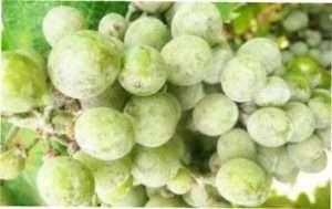 Оїдіум, або борошниста роса винограду