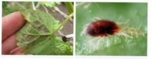 Павутинний кліщ винограду