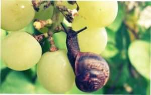 виноградні равлики