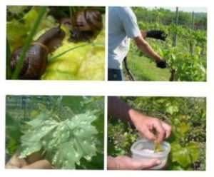 Боротьба зі шкідниками винограду: фото та як лікувати рослини