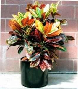 Перелік, у якому представлені найкрасивіші кімнатні рослини - кротон