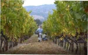 Які органічні добрива потрібно вносити під виноград