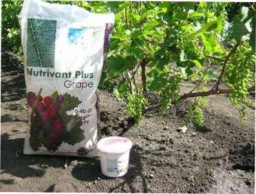 Підживлення винограду мінеральними і органічними добривами - як і коли вносити добрива