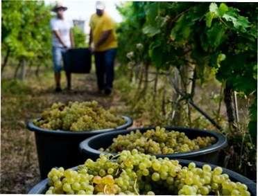 Календар робіт на винограднику у 2018 році: поради по догляду, обрізці та підживлення винограду