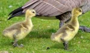 Розведення й утримання гусей у домашньому господарстві