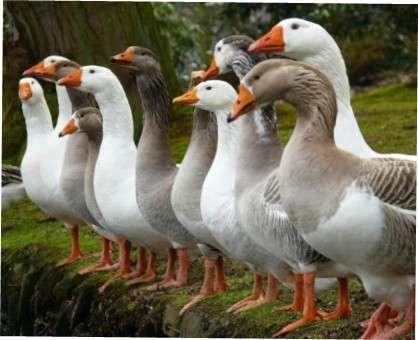 Розведення гусей в домашніх умовах: поради для птахівників-початківців
