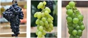 Сорти винограду по терміну дозрівання і смаковими якостями