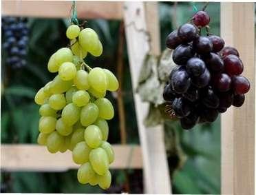 Кращі сорти винограду для вирощування на Україні : характеристика та опис сортів з фото