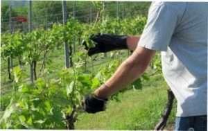 Техніка обрізки винограду: фото і опис