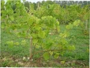 Як обрізати виноград правильно