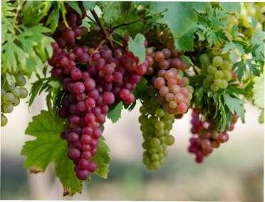 Техніка обрізки винограду: як правильно обрізати виноградні кущі - схеми та інструкція обрізки