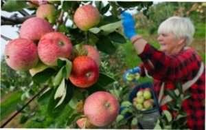 Підготовка до збирання врожаю: інвентар для збору фруктів